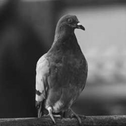 Gustav the pigeon