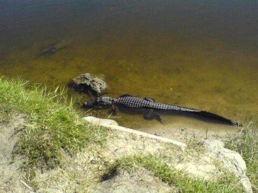 A photo I captured of a  young alligator beside Lake Alice, Gainesville, Florida.  Adults have one of the most powerful bites known in the animal kingdom, enabling them to crack open turtle shells.