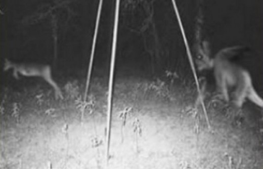 Is that a real photo of the Jersey Devil in the photo chasing a deer. If not then what is it.