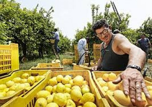 An employed American inspects the lemons going to market