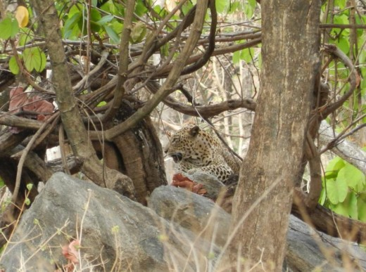 A leopard in the jungle