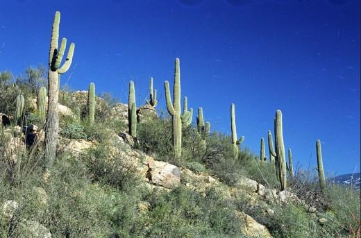 Saguaro cacti thrive on the desert part of the Tonto National Forest near Tucson, AZ on January 25, 2001.