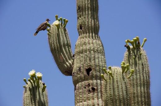 2011-06-26 Phoenix, Desert Botanical Garden 081 Saguaro (Carnegiea gigantea)