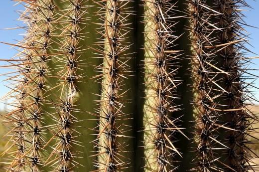 Saguaro trunk - close up