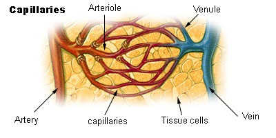Carbon monoxide relaxes the muscles in blood vessels.