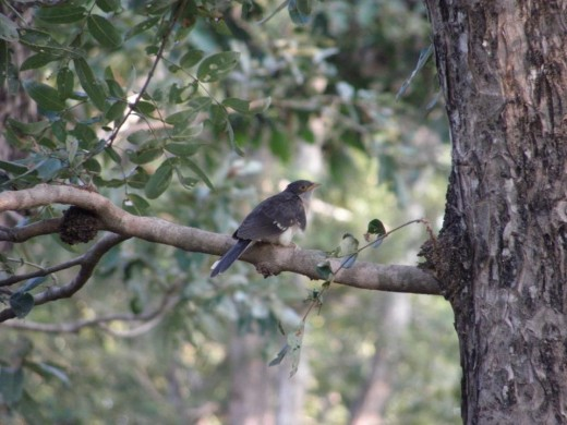 Photo Pied Crested Cuckoo