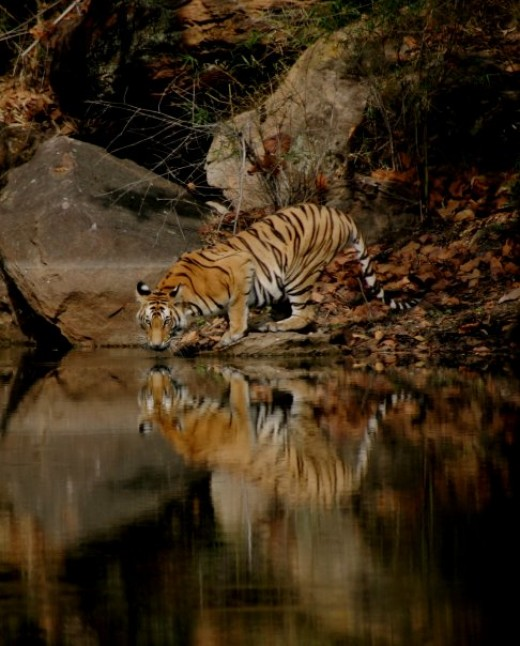 Tiger at water hole