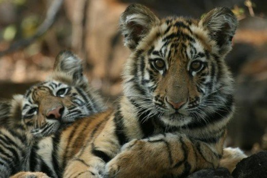 Photo Tiger Cubs