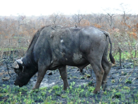 Buffalo with Oxpeckers at work