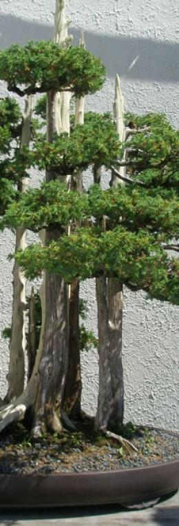 John Naka's famous bonsai masterpiece Goshin.