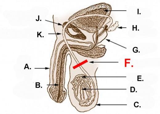 A.) Penis; B.) Urethra; C.) Scrotum; D.) Testicle; E.) Epididymis; F.) Vasectomy; G.) Prostate; H.) Seminal vesicle; I.) Bladder; J.) Pubic bone; K.) Vas deferens