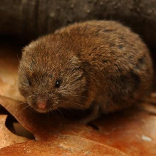 Voles can devastate hostas and other garden plants