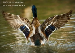 A Mallard drake showing off its wings.