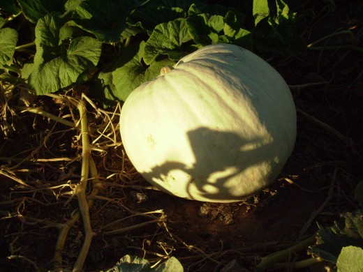 White pumpkin waiting to be harvested for Halloween.