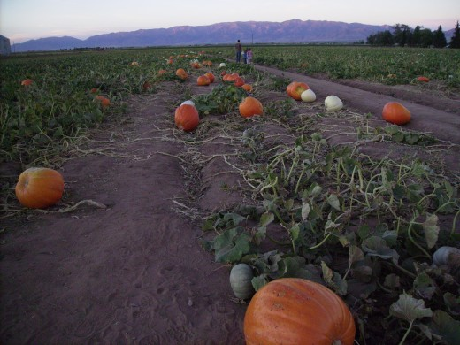Orange and White pumpkins at Apple Annie's Arizona farm