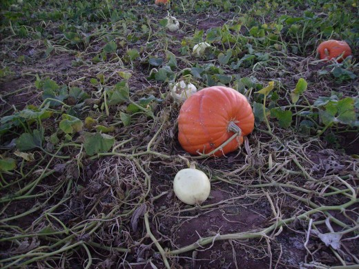 Little white pumpkins growing  alongside a larger orange pumpkin in pumpkin patch.