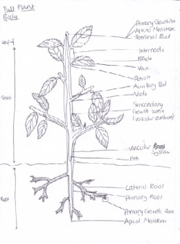 The Organisation and Growth of Plant Bodies in Comparison with ...