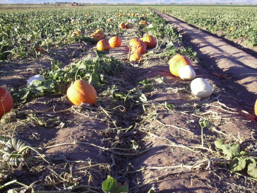 Field of orange and white pumpkins awaiting harvest for Halloween.