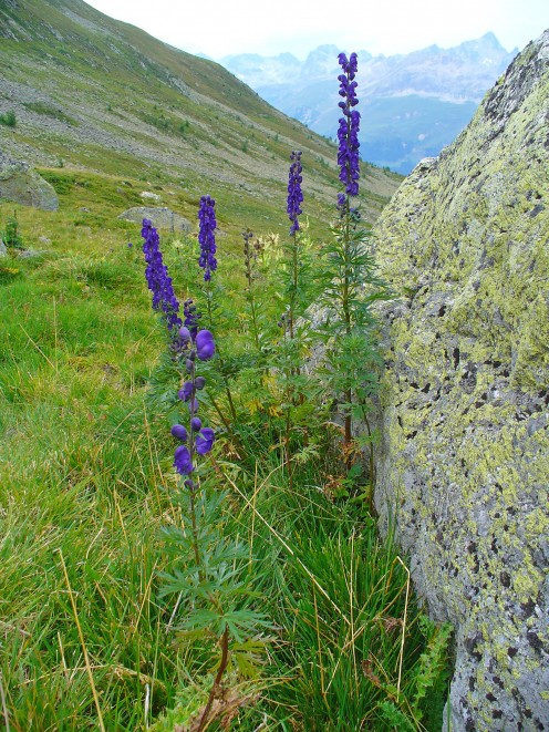 Aconitum Napellus works amazingly in cases of anxiety, sudden flu symptoms and shocks