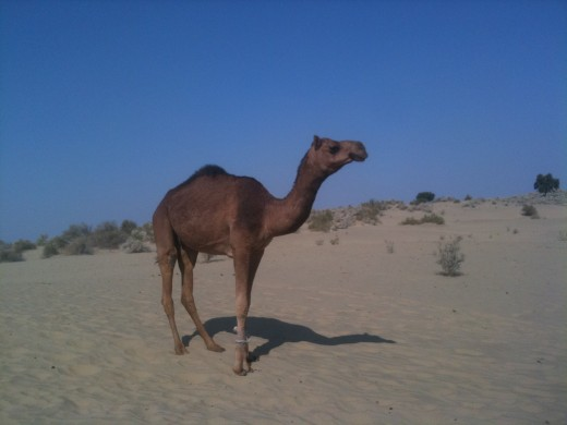 Aeroplane of Desert Camel in Thar