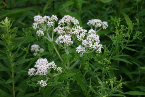 Eupatorium Perfoliatum is one of the homeopathic remedies for flue symptoms
