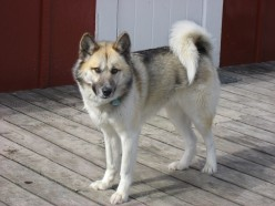 Greenland Dog history:An Ancient Sledge Dog Breed