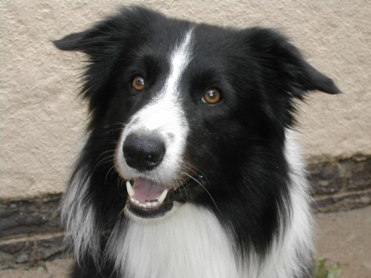 Border collie - amongst, if not the most energetic, diligent and intelligent, sharp-eyed working dogs, also thought colour aware (which may be why they are used as rescue dogs)
