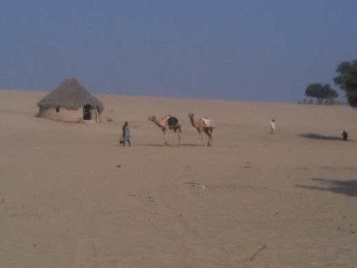 Camels are porters in Deserts