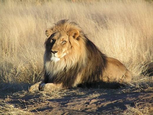 Lion in Namiblia