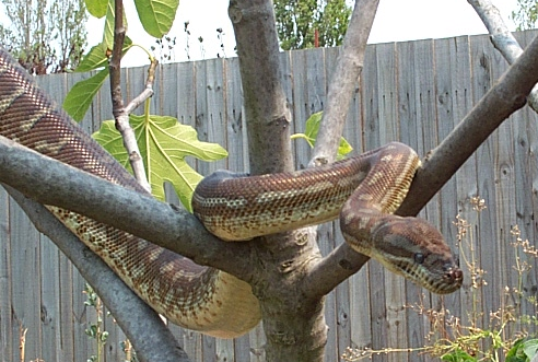 Centralian or Bredl's Python. Image by Snakesmum