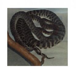 Antaresia stimsoni mating.    Image by Snakesmum