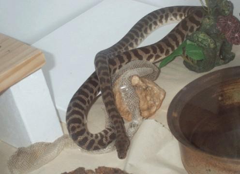 Stimsoni shedding.   Image by Snakesmum