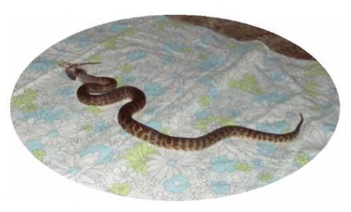 Stimsoni Feeding.     Image by Snakesmum