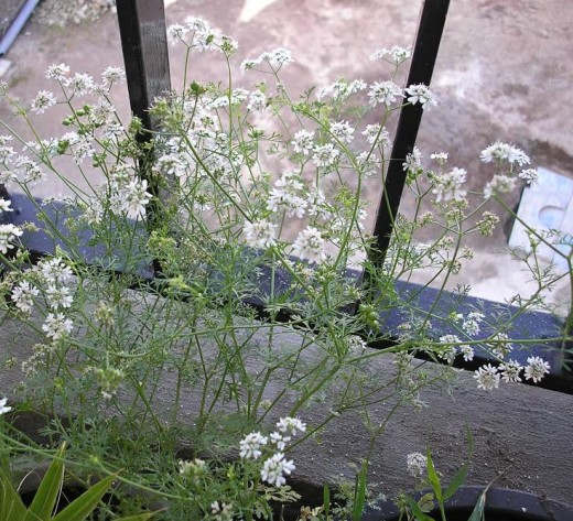 Balcony grown coriander