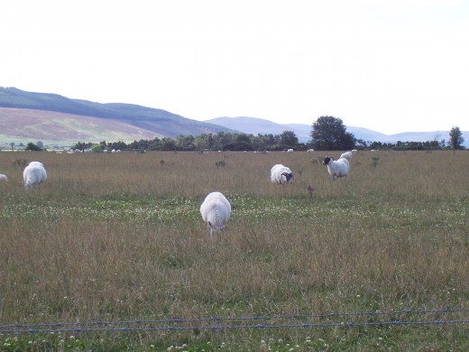 Scottish sheep enjoy the grass in a field not far from the mountains
