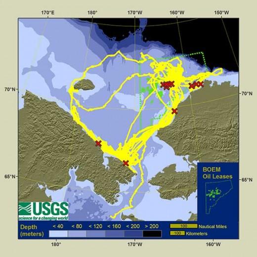 Walrus radio-tracking in the Chukchi Sea 2013