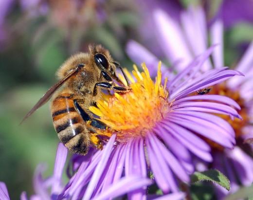 Bees are invertebrates in the animal kingdom