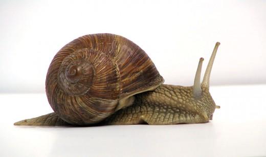 Snails are invertebrates