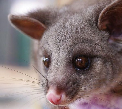 Little Brushtail Possum