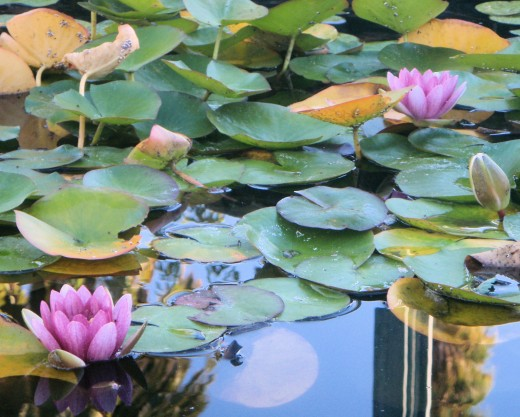 water lilys at the civic square gardens
