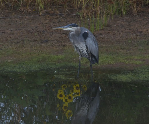 Great Blue Heron with Wildflower Reflection