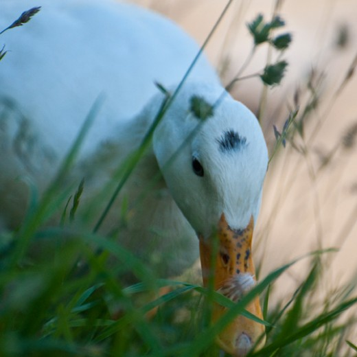 The little white duck called Smudge