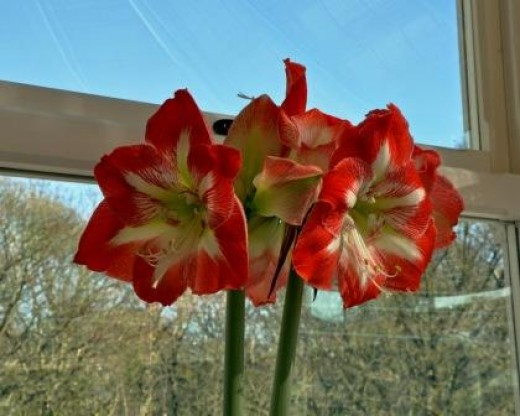 Amaryllis in the window