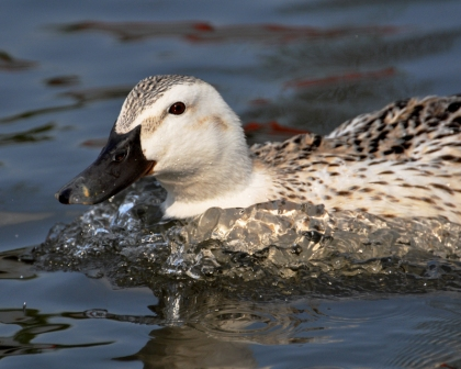 Domestic duck on water