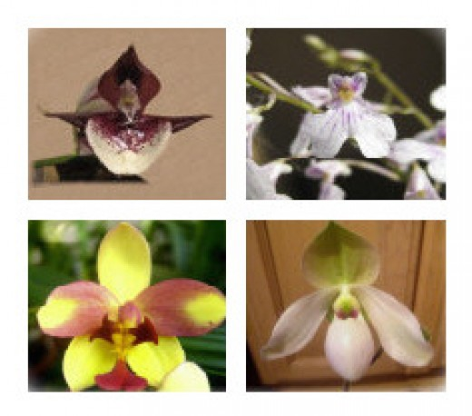 Top: my Orchid Advocates Bottom: my Orchid Adversaries