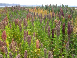 Cheopodium quinoa grown in Bolivia by the shores of Lake Titicaca