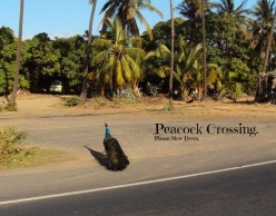 Peacocks, the Royal Birds of Maui