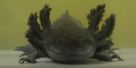 Alice The Axolotl