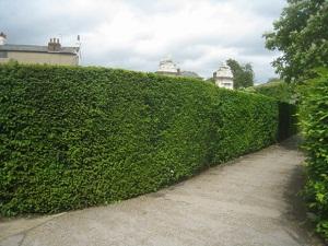 Part of the Hampton Court Palace hedge maze