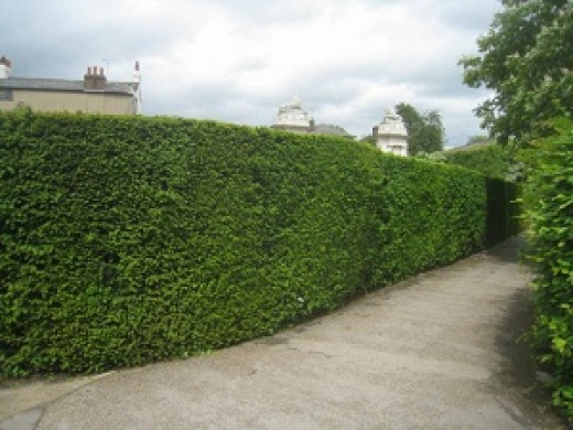 Part of the Hampton Court Palace hedge maze